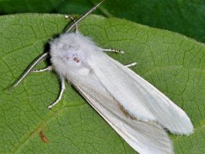 Обработка от американской белой бабочки