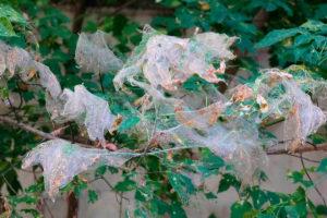 Уничтожение американской белой бабочки