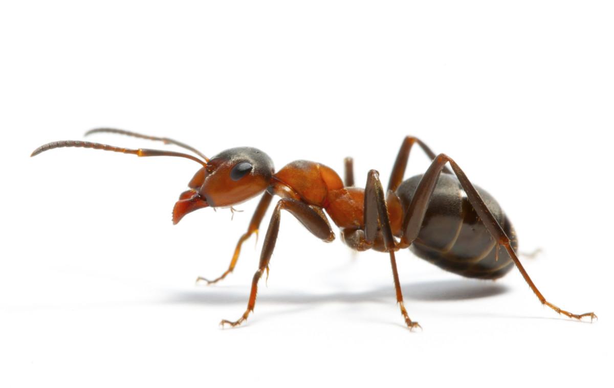 Профессиональное уничтожение муравьев в Сочи