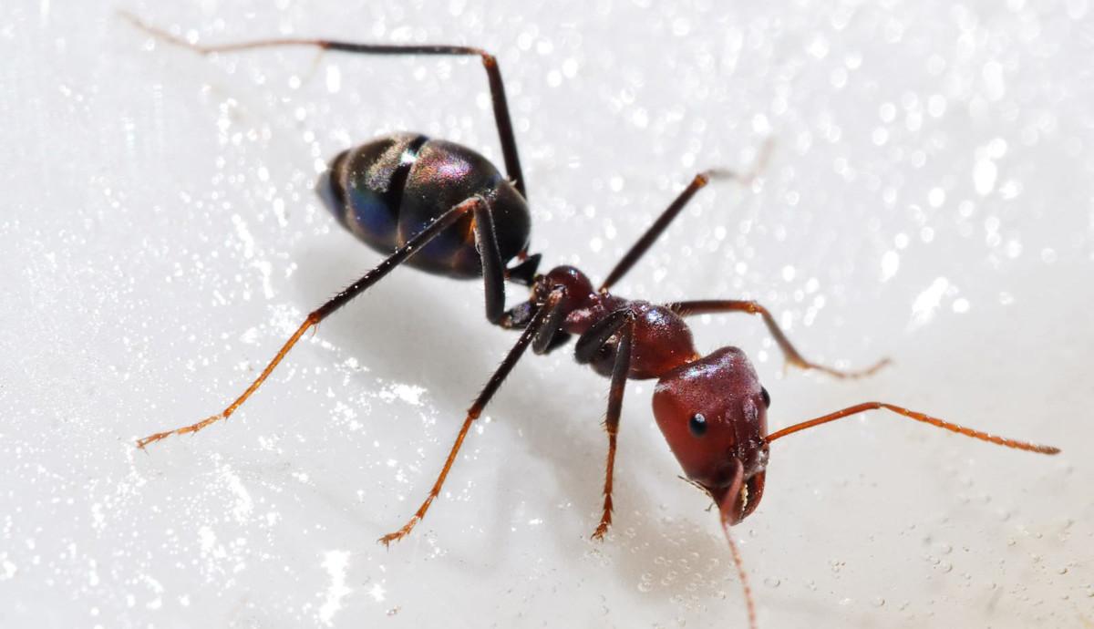 чем травить муравьев