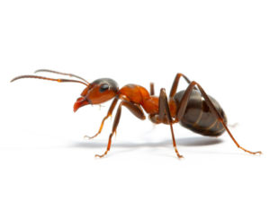 Особенности обработки от муравьев