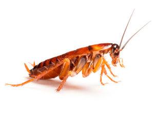 Особенности обработки от тараканов