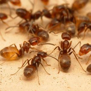 Рыжие домовые муравьи